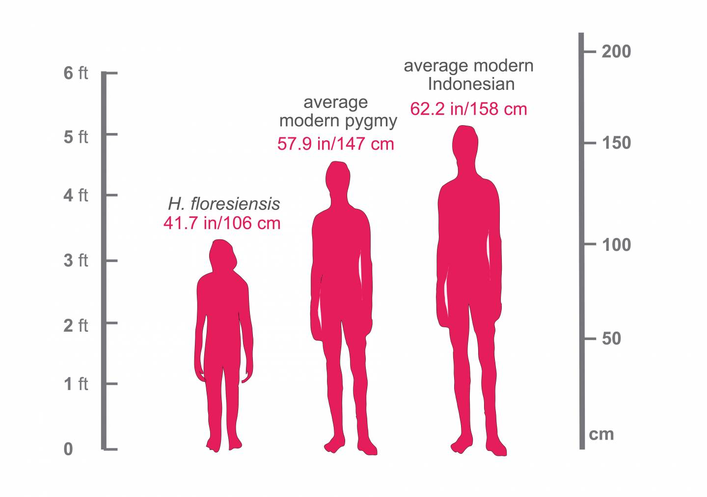 Height comparison between Homo florensiensis, modern pygmy, and average Indonesian