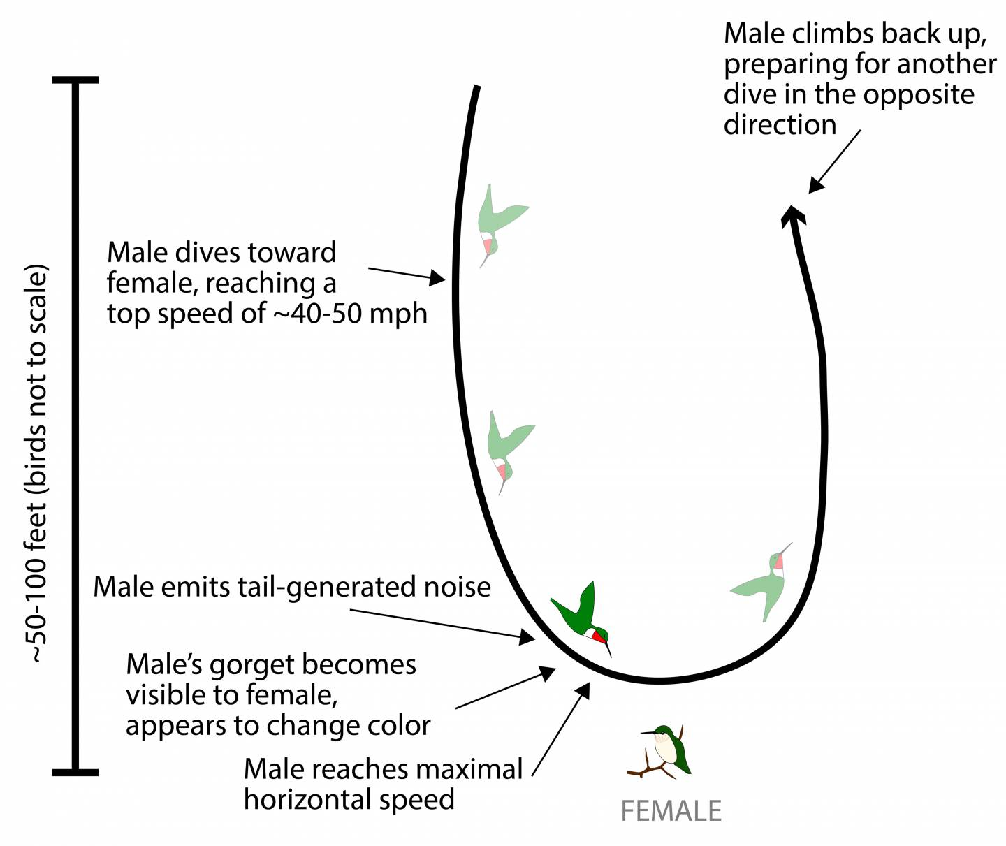"Illustration of the flight pattern and courtship rituals of hummingbirds ""Male dives toward female, reaching a top speed of ~40-50 mph"" ""Male emits tail-generated noise"" ""Male's gorget becomes visible to female, appears to change color"" ""Male reaches maximal horizontal speed [towards female]"" ""Male climbs back up, preparing for another dive in the opposite direction"""