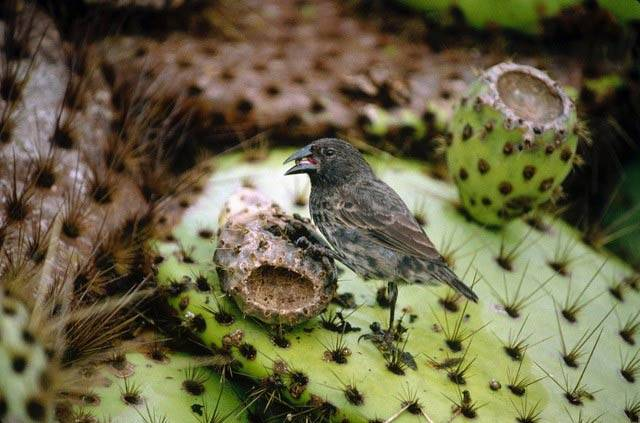 A cactus finch on a cactus
