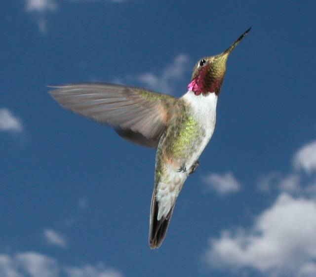 A male broad-tailed hummingbird flies upward