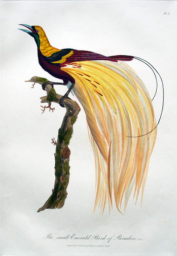 A Collection Of The Birds Of Paradise Graphic Arts