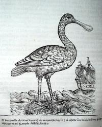 Pierre Belon's Early Natural History of Birds - Graphic Arts
